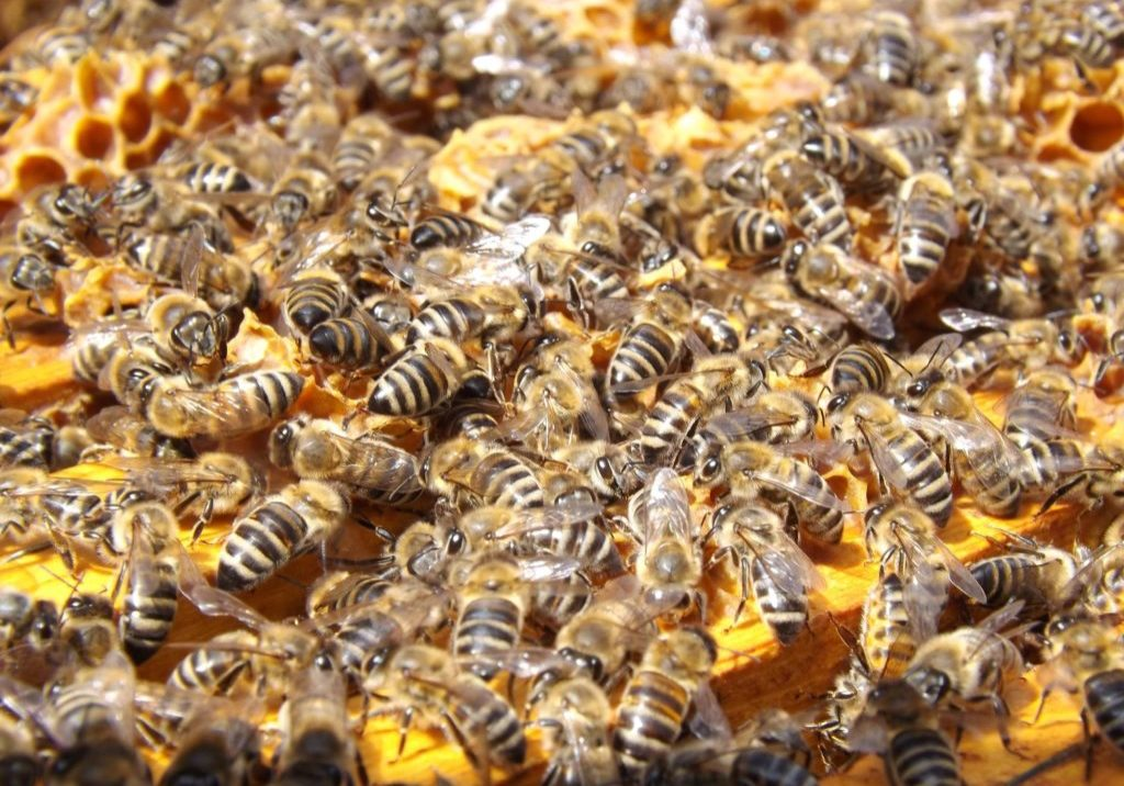 swarm-insects-bees-honey-48022